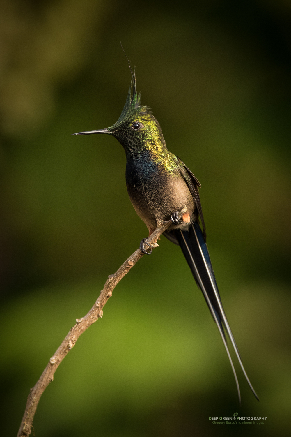A wire-crested thorntail hummingbird in the rainforest in Ecuador