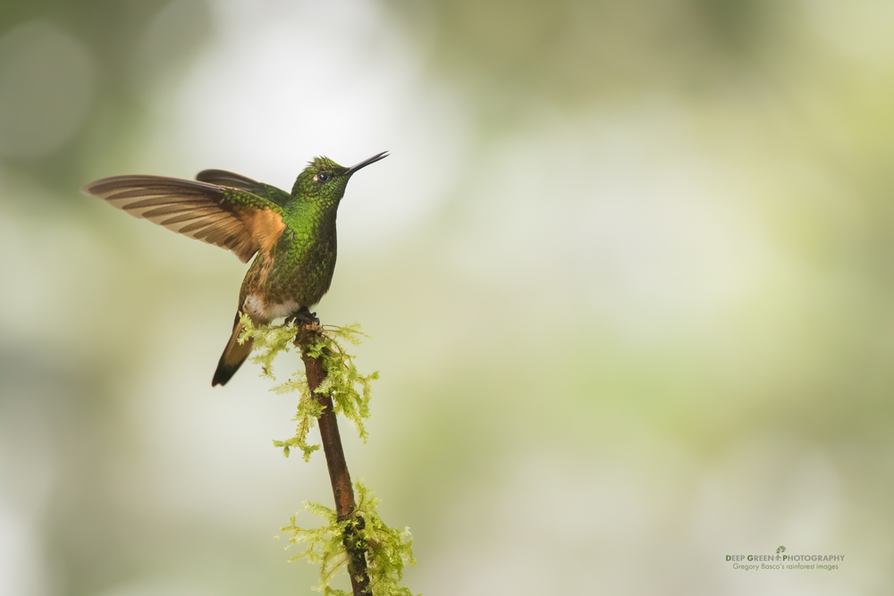 A buff-bellied coronet perches in a cloud forest in Ecuador
