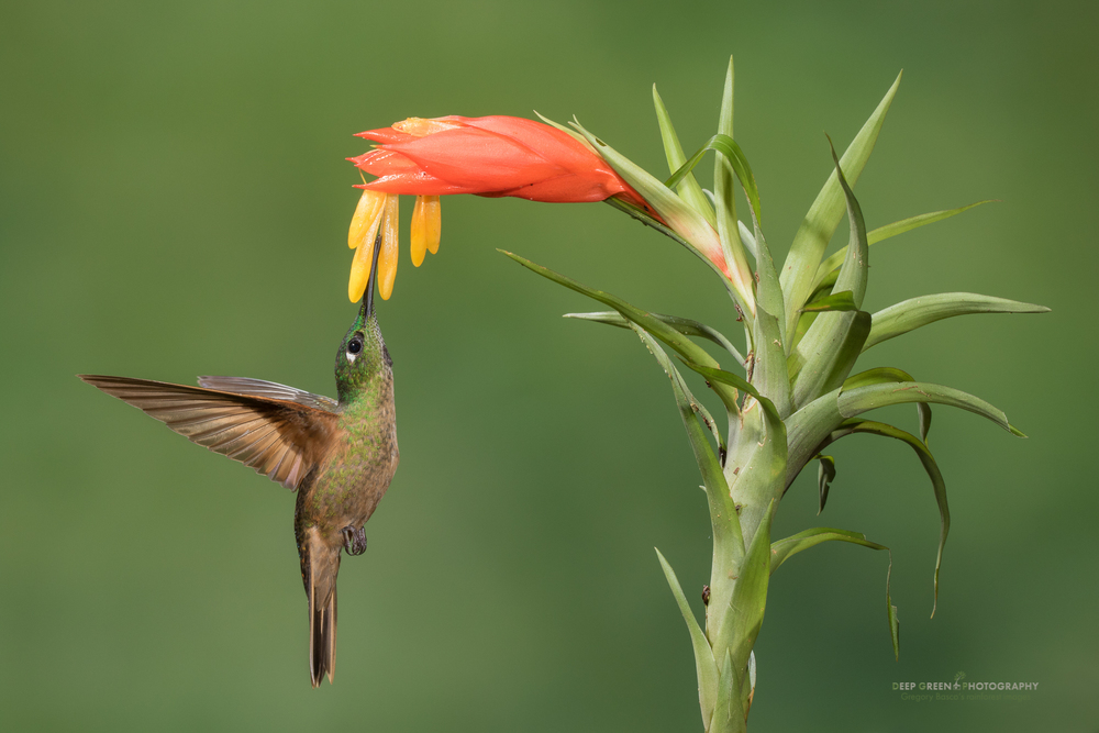 A buff-bellied coronet visits a bromeliad flower in a cloud forest in Ecuador