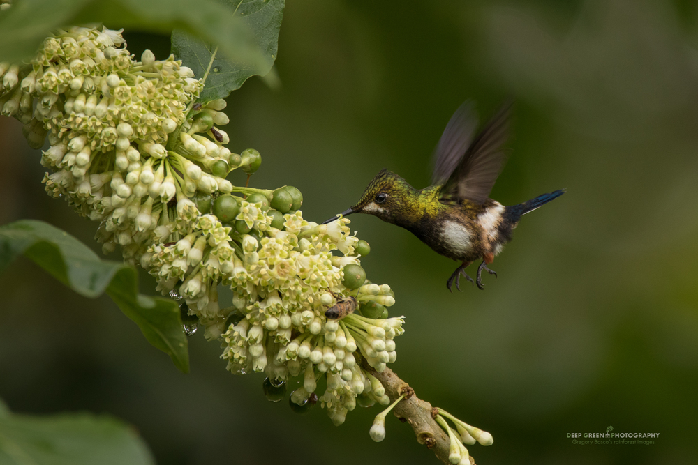 A wire-crested thorntail hummingbird visits native Solanaceae flowers in the rainforest in Ecuador