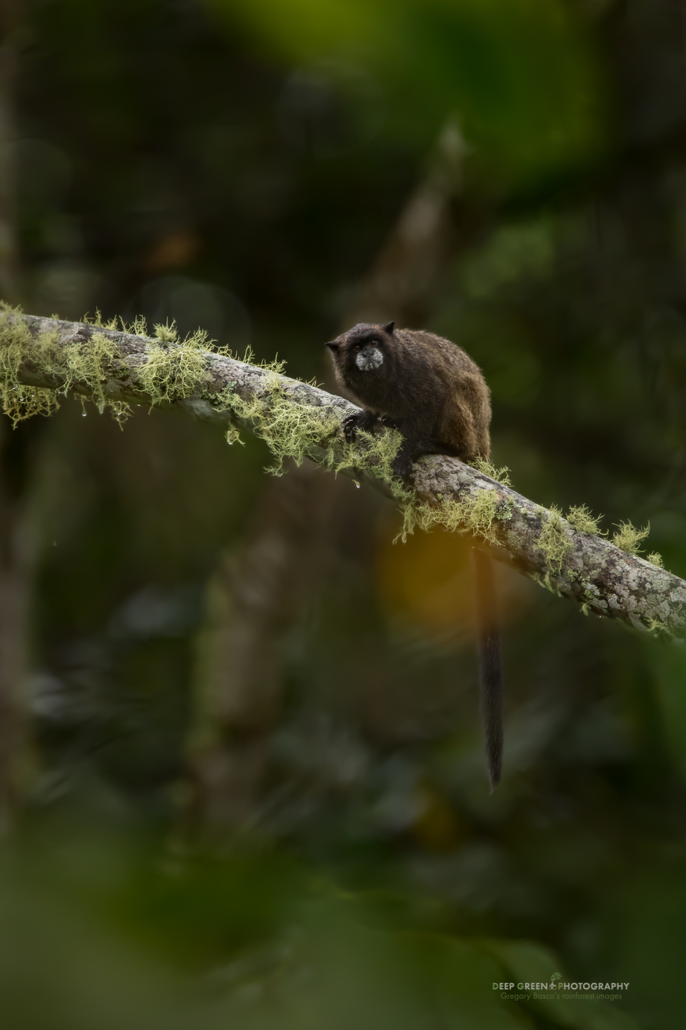 A dusky titi monkey in the rainforest near Ecuador's Sumaco volcano