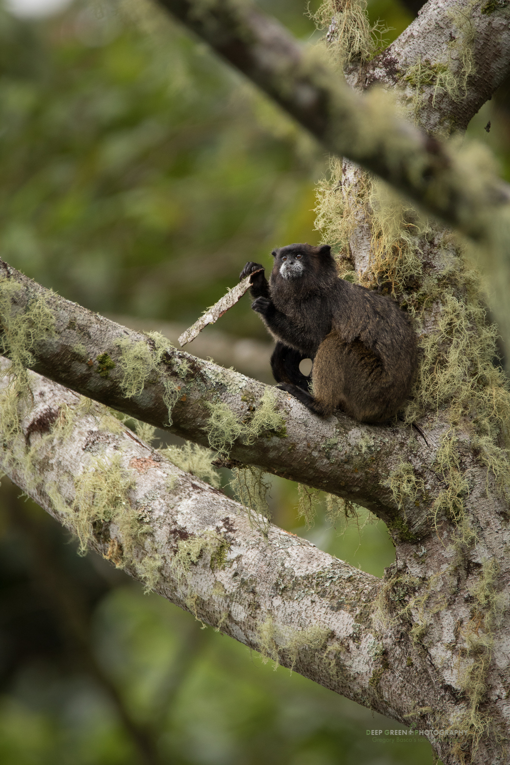 A dusky titi monkey in the rainforest near Ecuador's Sumaco volcano eats lichen-encrusted bark.