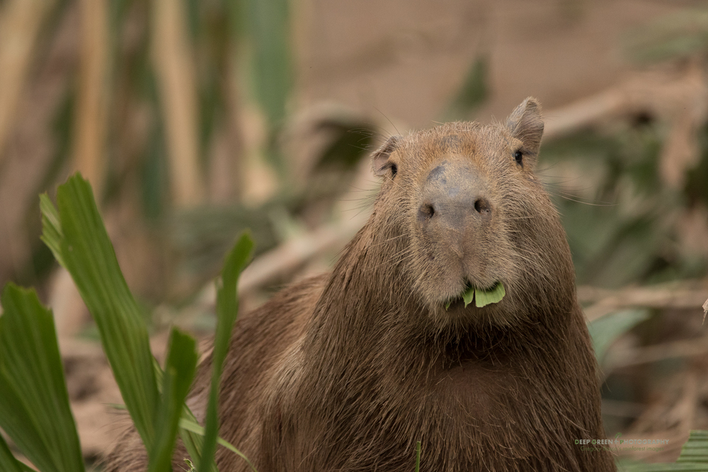 A capybara munches on palm leaves on the banks of the Tambopata River in Amazonian Peru