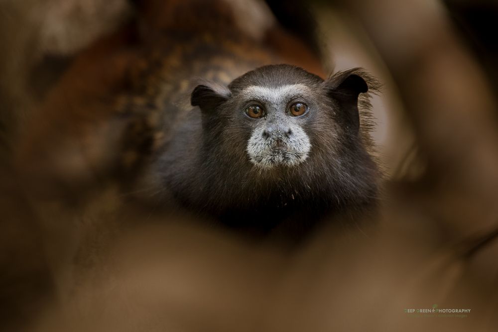 A titi monkey in the rainforest in the Peruvian Amazon