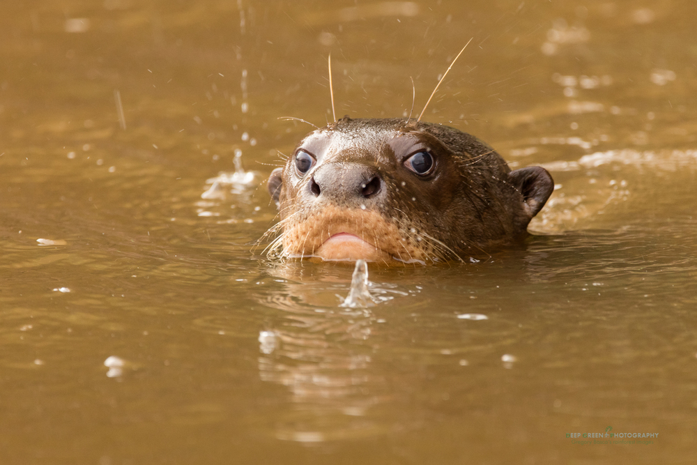 A giant river otter in a lagoon in the Peruvian Amazon