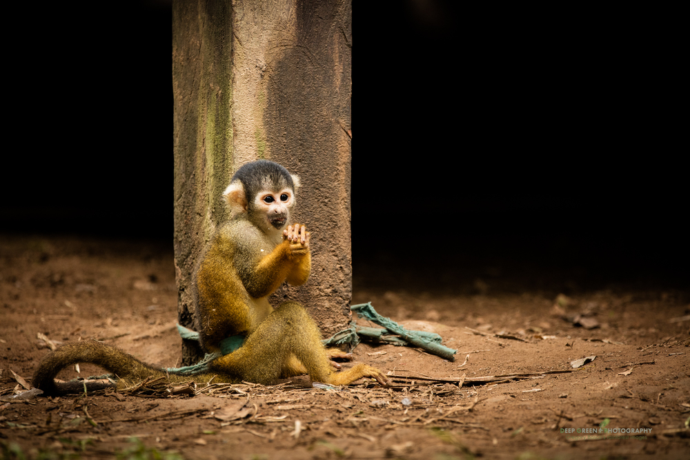 A squirrel monkey kept as a pet at a local vilager's house in the Peruvian Amazon regon