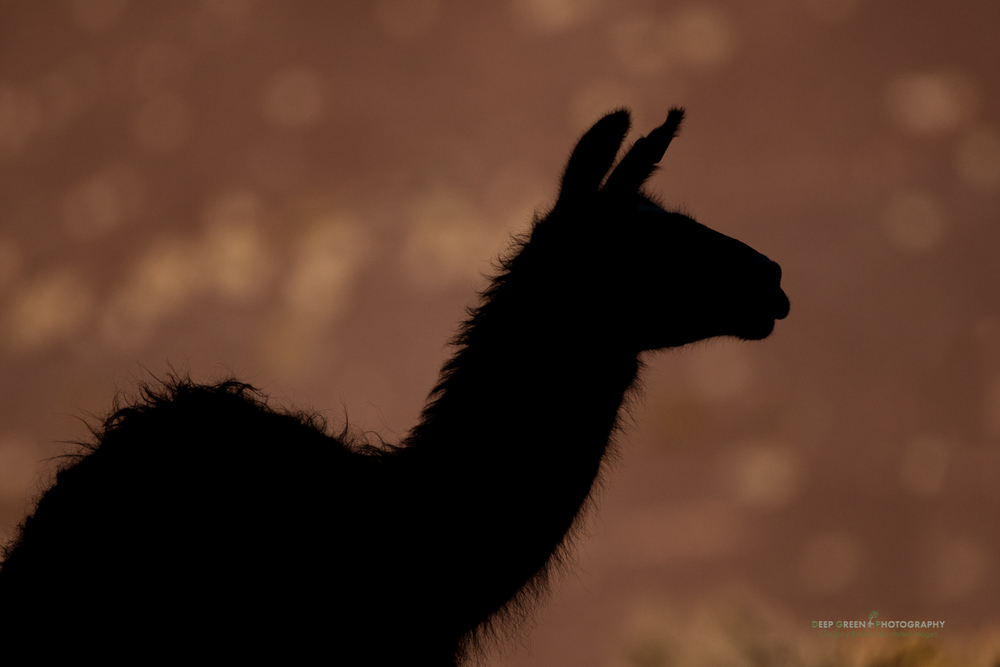 A llama in the Atacama desert in Chile