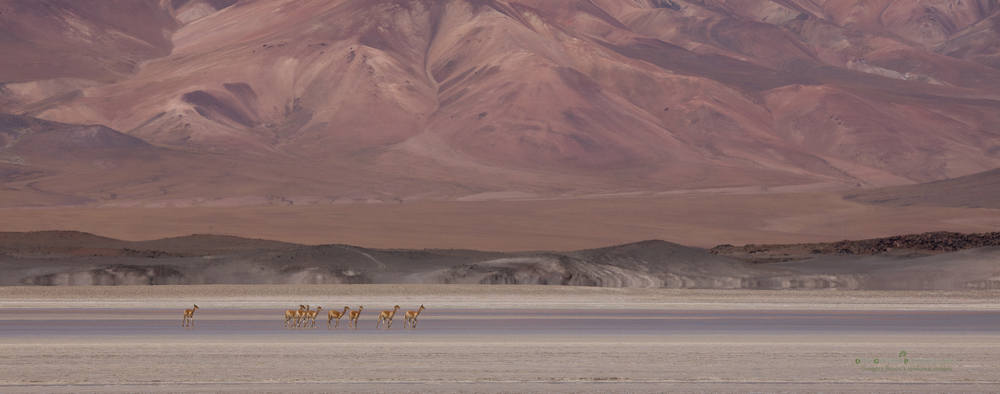 Fresh water is scarce in the high regions of the Atacama Desert in Chile. Vicuña are forced to drink from the salt lakes that abound in the area. I was lucky to encounter them in a beautiful setting!