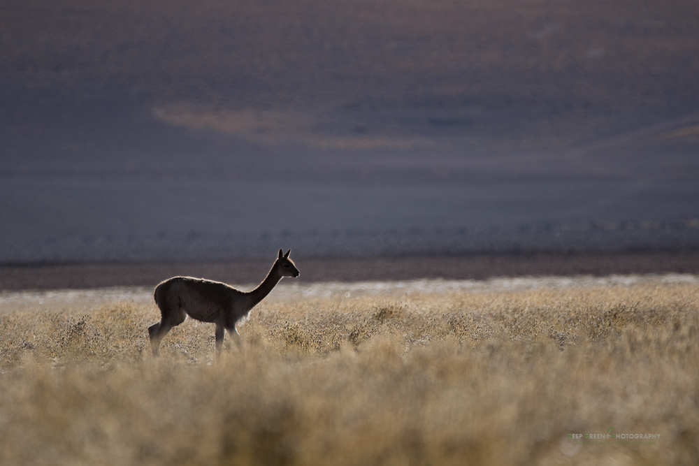 A lone vicuña in the Atacama desert in Chile