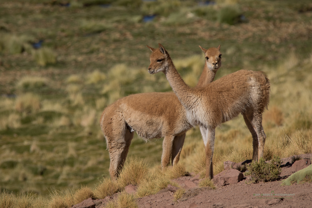 Vicuña forage for tender grass along a rare stream in the Atacama desert