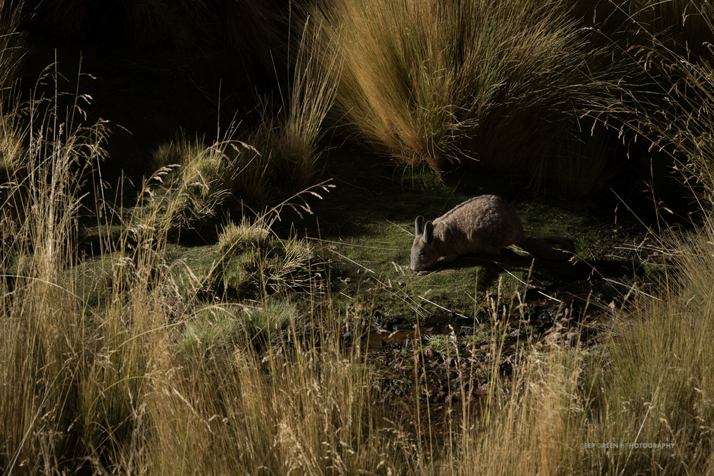 A vizcacha forages on the bank of a small stream in the Atacama desert of Chile