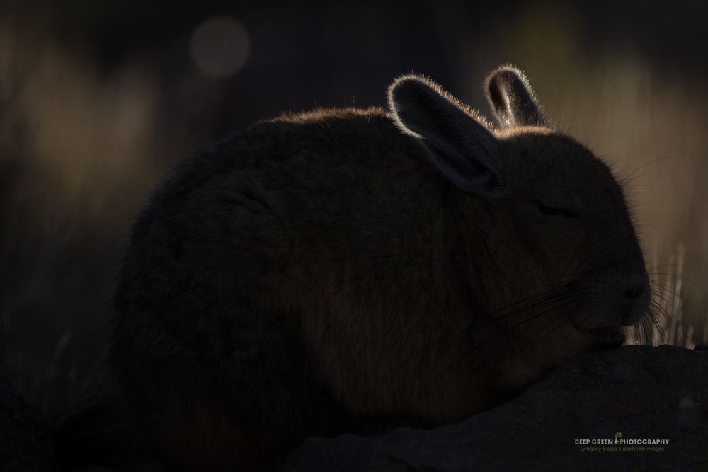 A vizcacha huddles against the cold as the sun rises in the high mountains of Chile's Atacama Desert