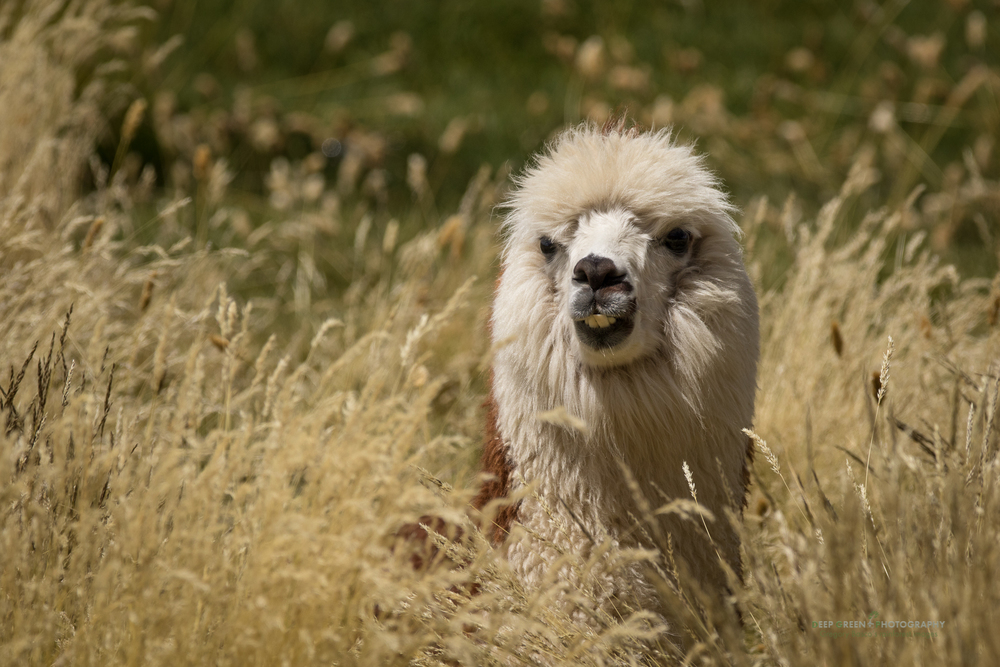 A llama in the grass in the Lauca National Park in Chile