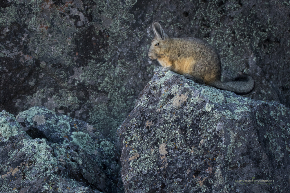 a vizcacha in the Lauca National Park in Chile