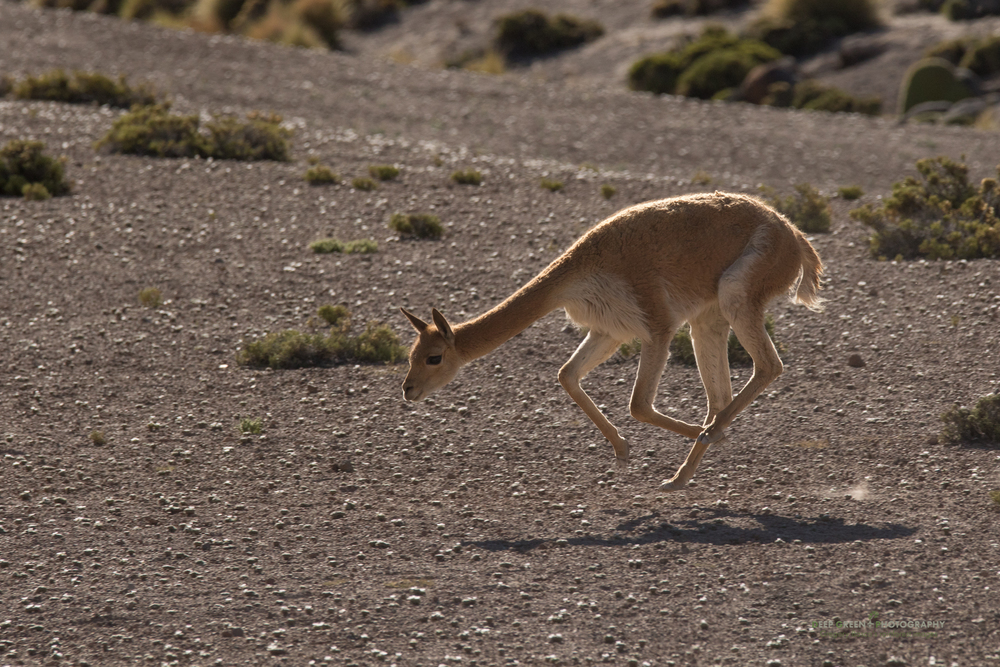 A vicuña frolics in the desert in the Lauca National Park in Chile