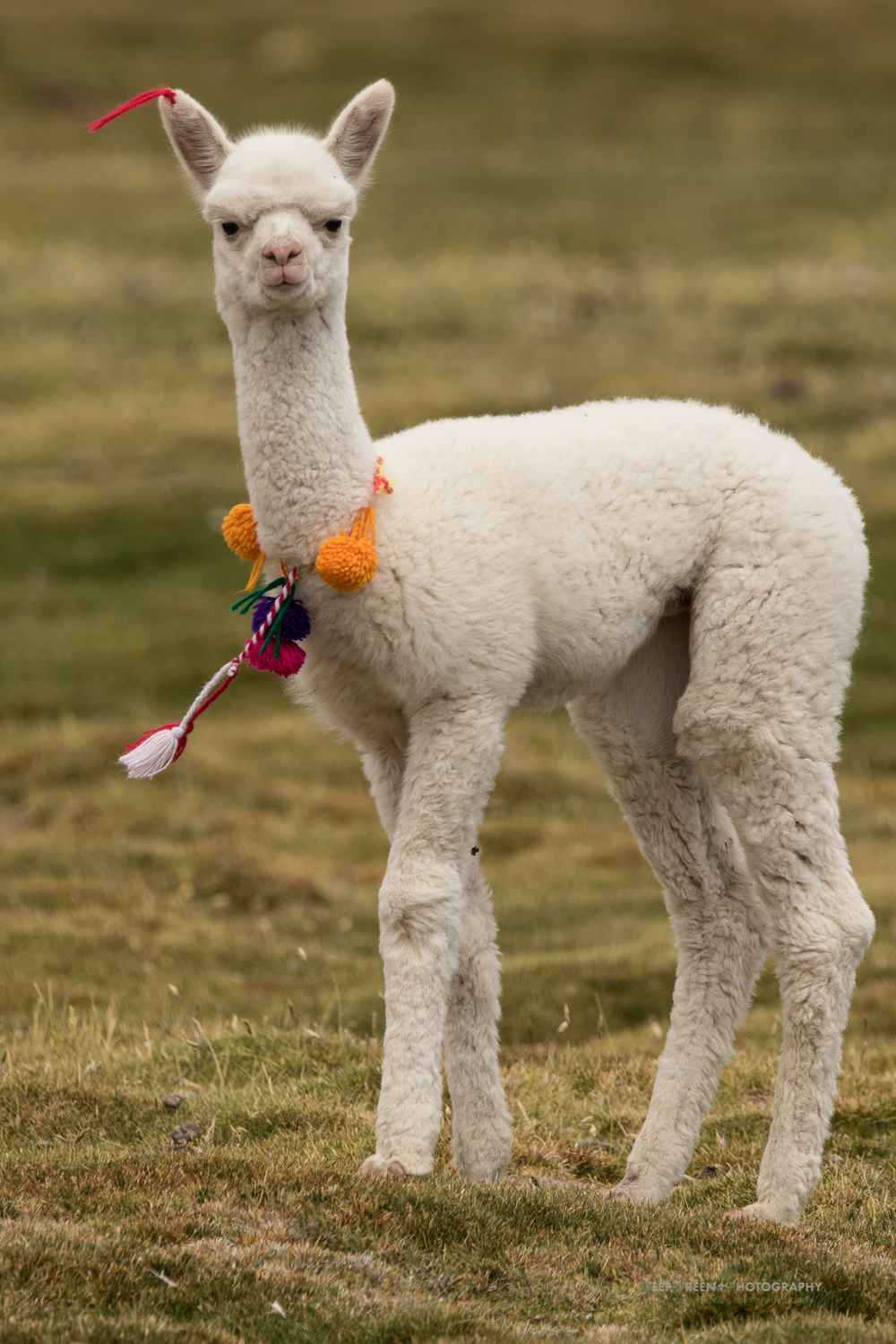 A baby llama in a pasture near an indigenous town in the Chilean altiplano