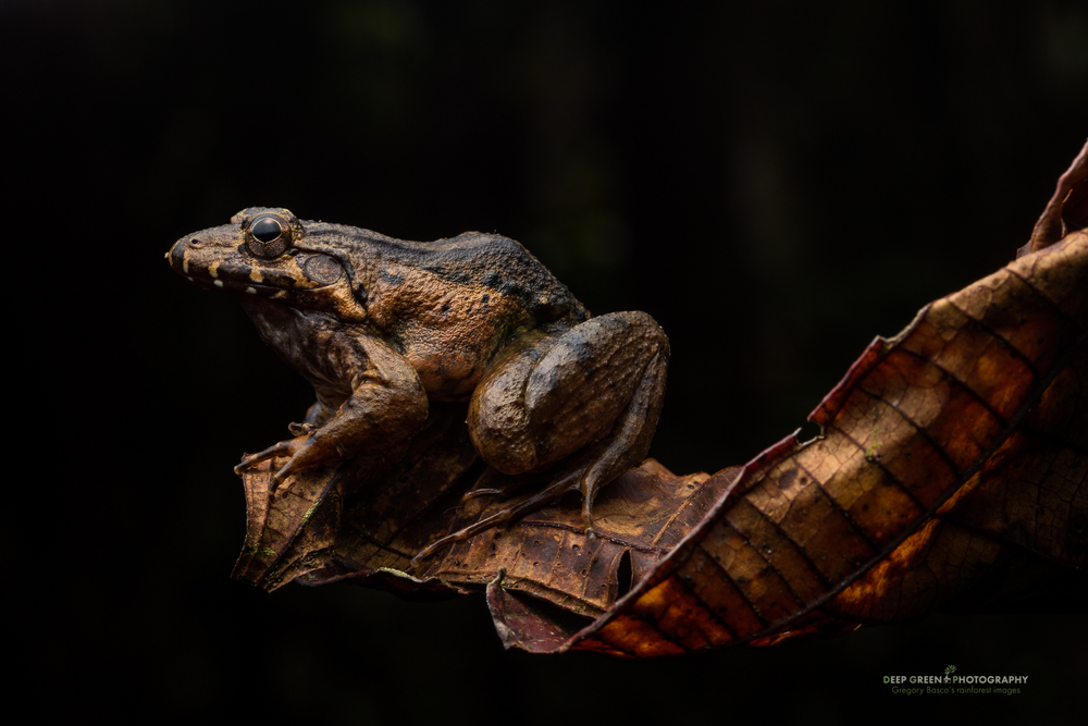 A large Leptodactylus frog poses in a rainforest in Ecuador