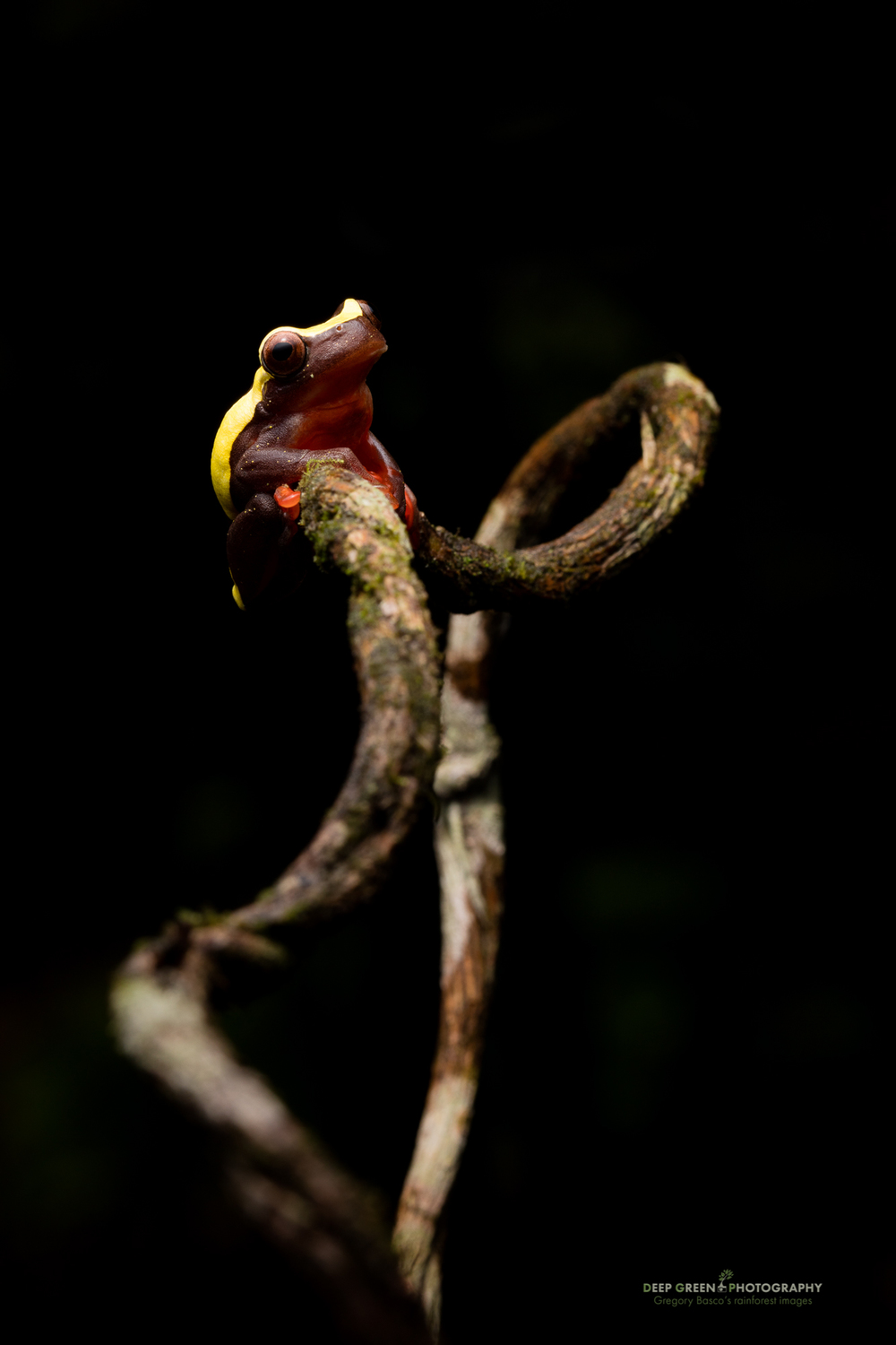 A clown frog on a branch in the rainforest in Ecuador