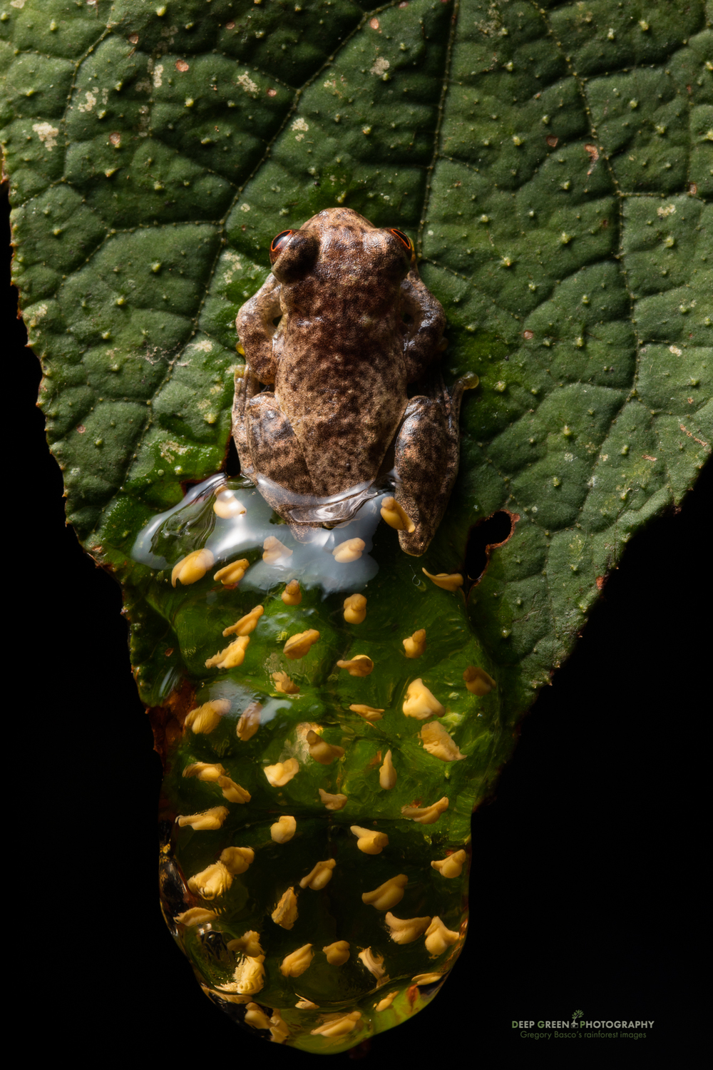 A tree frog guarding its egg mess in the rainforest in Ecuador