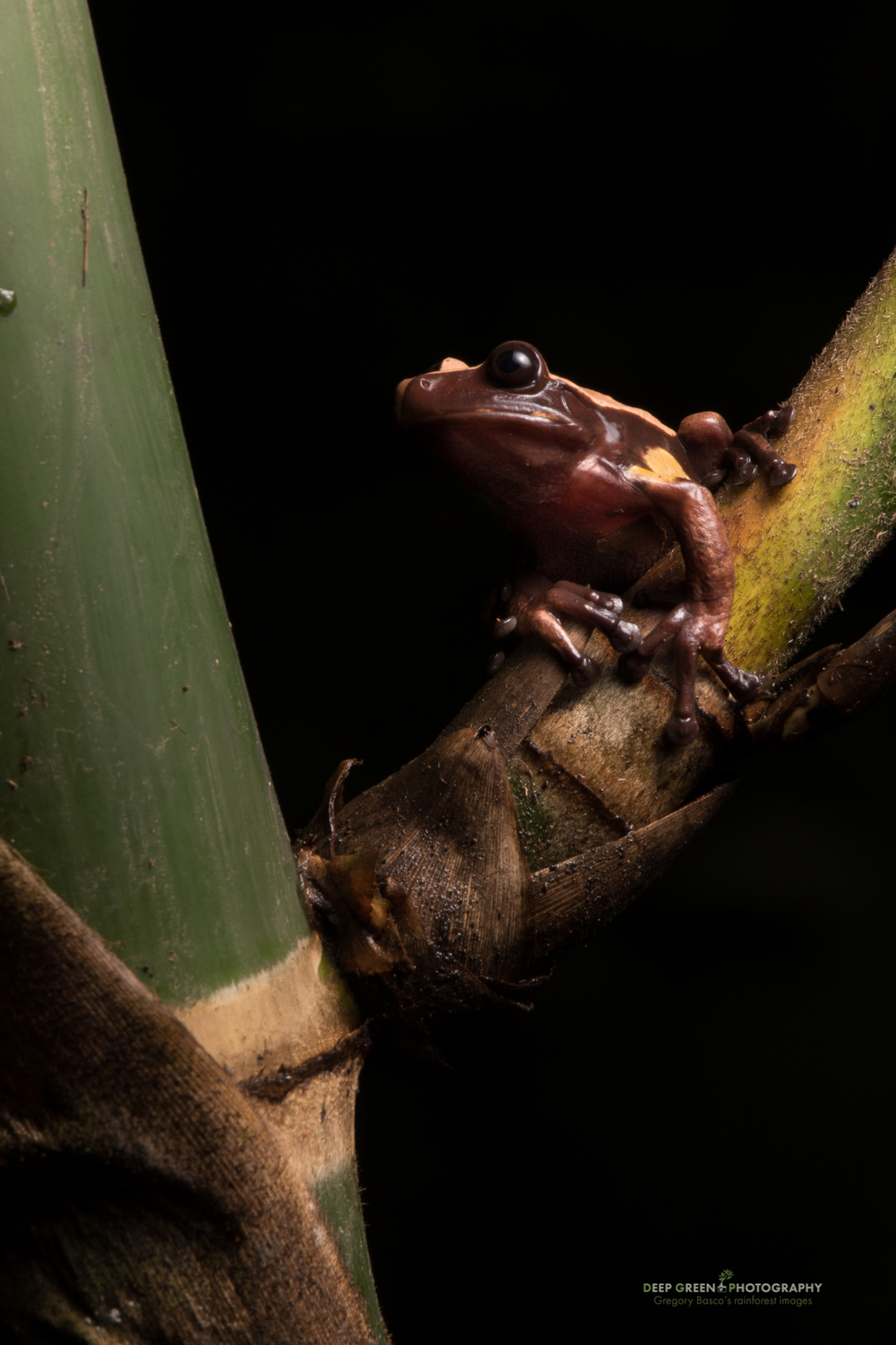 A very rare Chocolate frog in Ecuador. This species spends its entire leaf inside and around native bamboo stems.