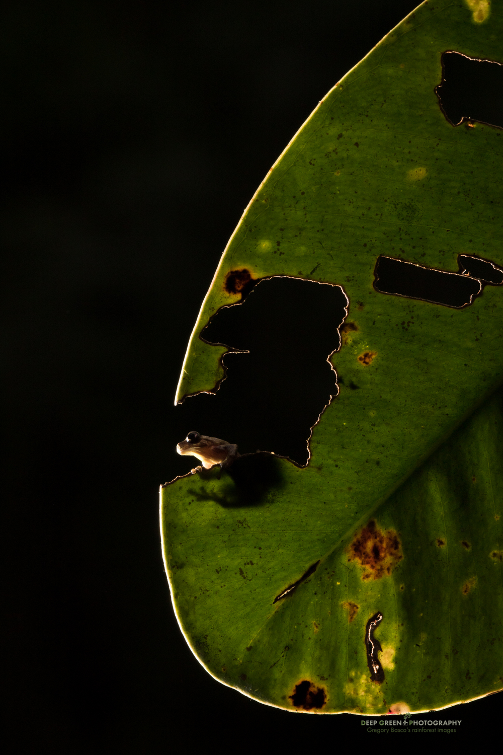 A tiny rain frog on a cloud forest leaf in Ecuador