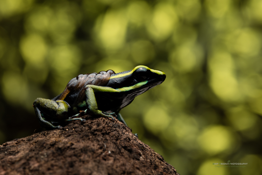 A three-striped poison frog carries its tadpoles through a rainforest in the Amazon region of Peru