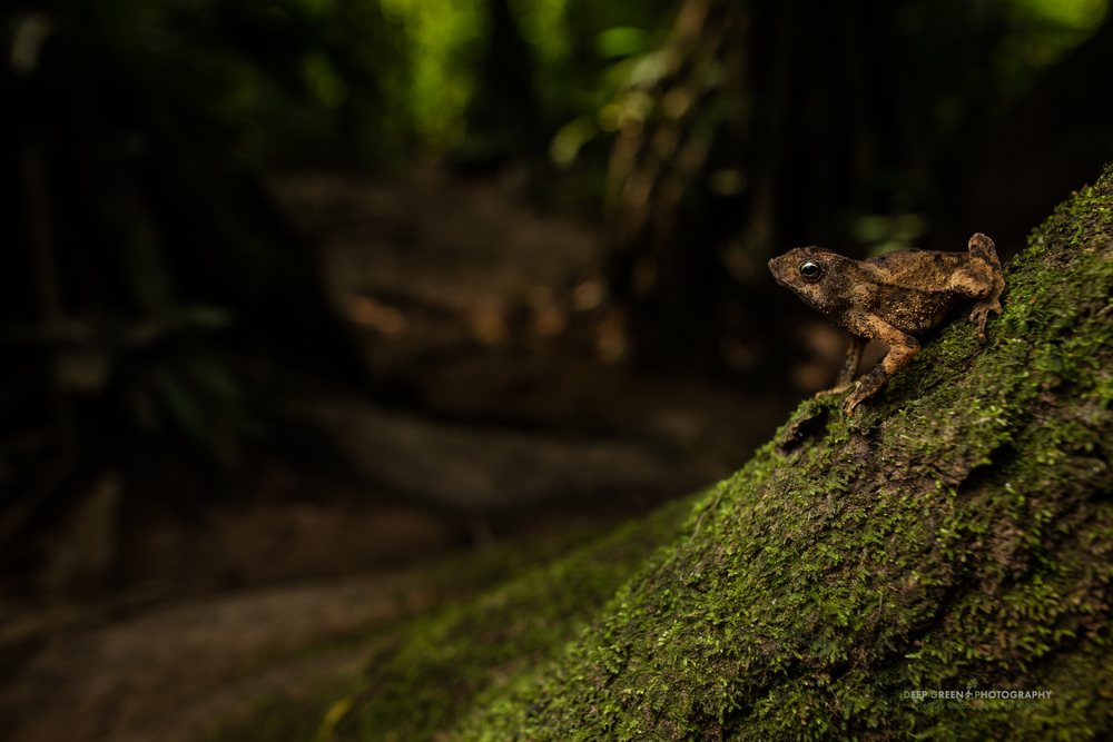 A crested toad on a tree buttress in a rainforest in the Amazon region of Peru