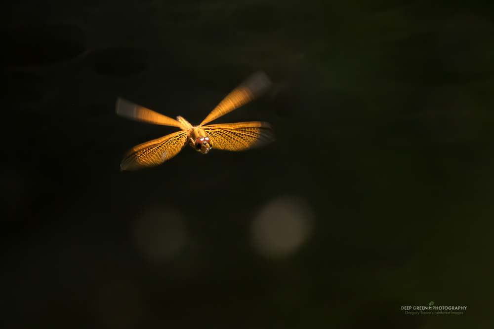 A dragonfly hovering above a backwater lagoon in the Peruvian Amazon