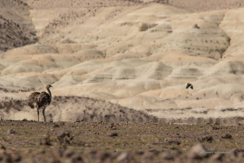 Heat shimmer can make it difficult to take sharp pictures. I went with the flow and took this painterly portrait of the strange flightless Rhea in the Atacama Desert of Chile
