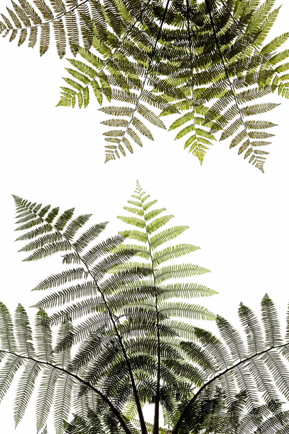 Nature produces art, even in the chaotic envionrment of the tropical cloud forest. By searching carefully, I was able to produce a graphic image of tree fern leaves in a cloud forest in western Ecuador