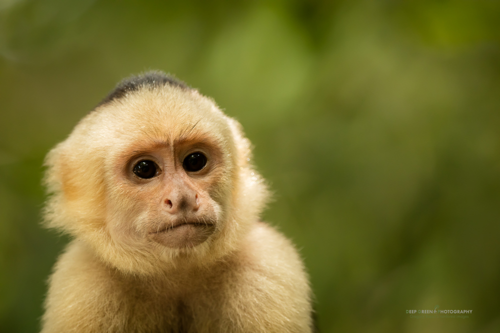 I took this photo of a White-faced capuchin monkey using the Sigma 150-600 mm  Contemporary at 451 mm on a Canon 5DsR at f/6.3, 1/200, ISO 2000, handheld.