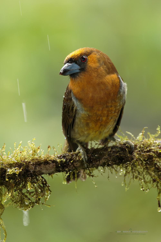 Prong-billed barbet, Costa Rica highlands