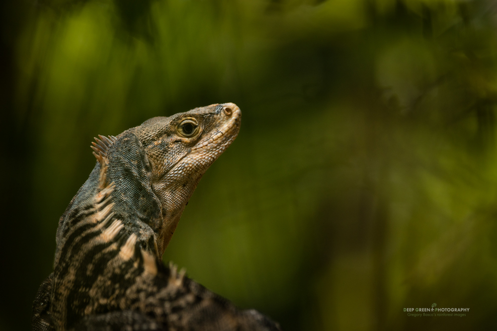 I shot this Spiny Iguana in Costa Rica's Manuel Antonio National Park in dim conditions with the Sigma 150-600 mm Contemporary, handheld with the Canon 5DsR. The zoom was at 484 mm and settings were f/6.3, 1/160, and ISO 640. Sharpness was good, Sigma's optical stablization worked pretty well, and the bokeh is quite nice.