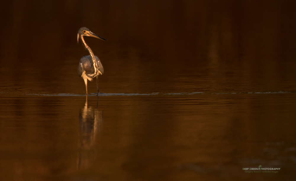 I shot this Tricolored Heron at last light from a boat on Costa Rica's Tarcoles River using the Sigma 150-600 mm Contemporary handheld at 600 mm and wide open at f/6.3 for 1/640 at ISO 400 on a Canon 7DII.
