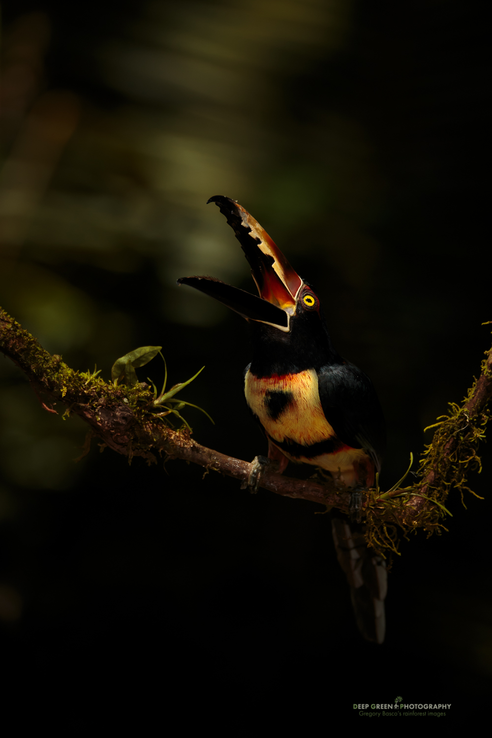 I took this image of a Collared Aracari calling in late afternoon light in a Costa Rican rainforest garden with the Sigma 150-600 mm Sport version on a Canon 1Dx at 370 mm at f/6.3 for 1/2500 at ISO 1000. I was equally pleased with the sharpness of the Sport.