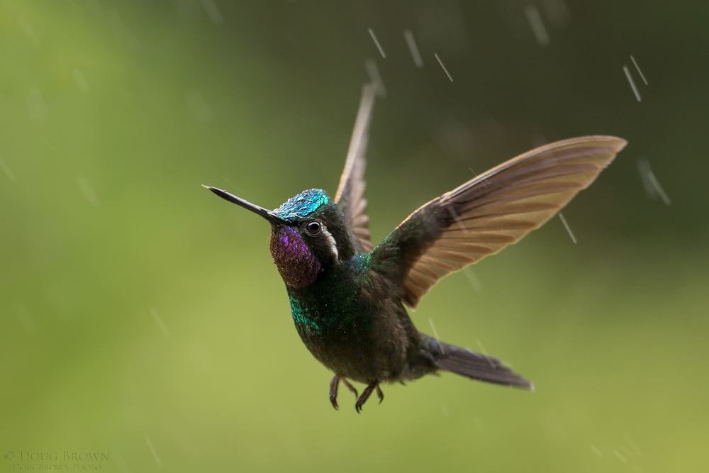 Doug took this cool shot of a Purple-throated Mountain Gem hummingbird in the rain during our 2016 Costa Rica workshop. He used the Sigma 150-600 Contemporary version and shot handheld with the Canon 1Dx. The lens was zoomed to 388 mm, and he shot at f/6.3, 1/500, and ISO 1600.