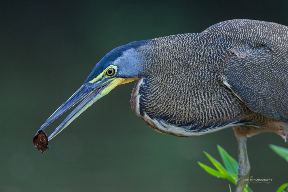 A bare-throated tiger heron drops a seed in the water to lure fish in Tortuguero National Park