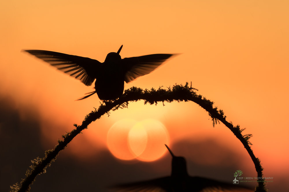 Magnificent hummingbirds as sun sets over cloud forest, Costa Rica Canon 7DII, Sigma 150-600 mm f/5-6.3 Contemporary zoom lens, handheld, f/6.3, 1/400th, ISO 400