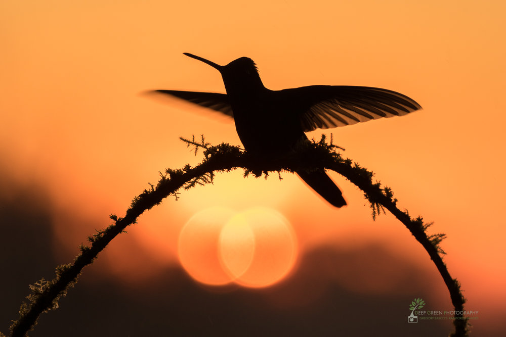 Magnificent hummingbird as sun sets over cloud forest, Costa Rica Canon 7DII, Sigma 150-600 mm f/5-6.3 Contemporary zoom lens, handheld, f/6.3, 1/400th, ISO 400