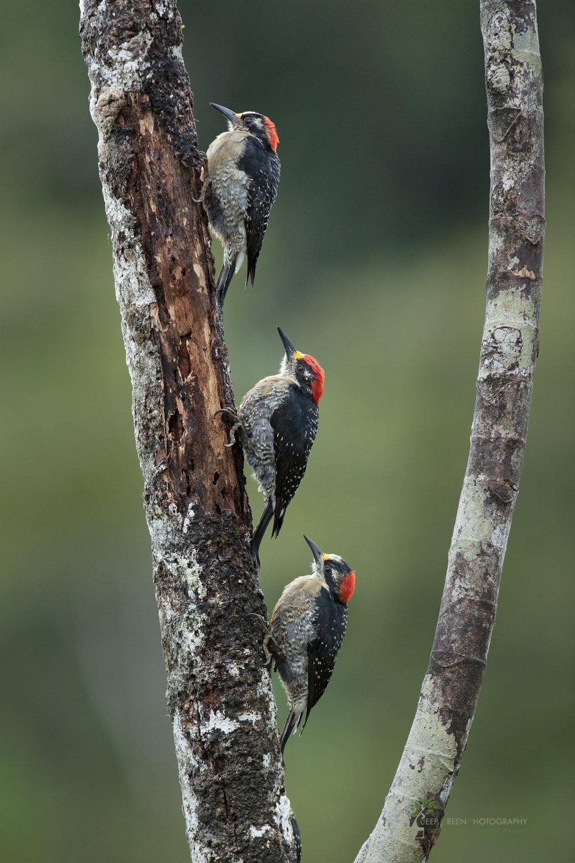 Black-cheeked woodpecker, Costa Rica