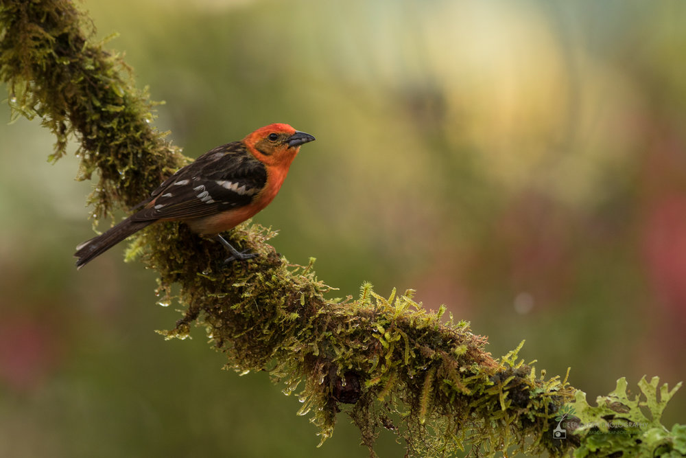 Flame-colored Tanager in cloud forest, Costa Rica