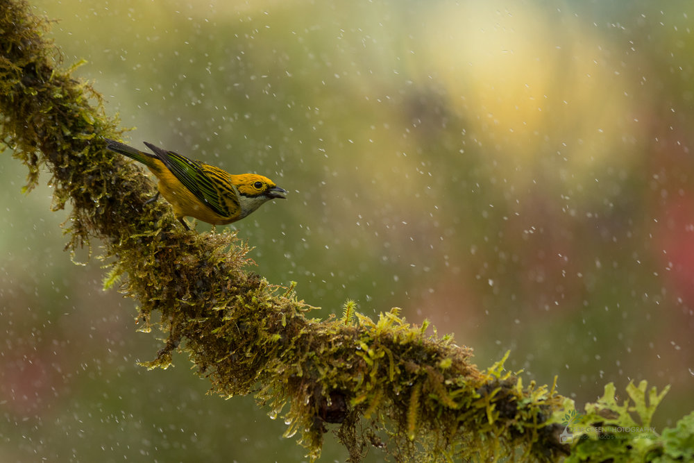 Silver-throated tanager in cloud forest during rain shower, Costa Rica