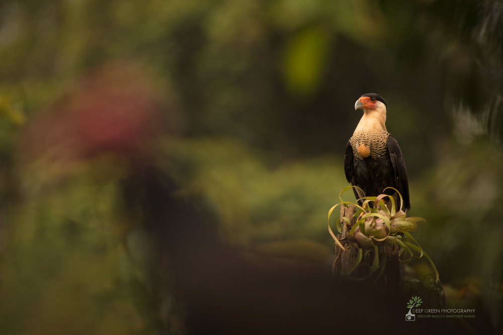A Crested Caracara waits patiently as vultures clean a carcass in rainforest, Costa Rica