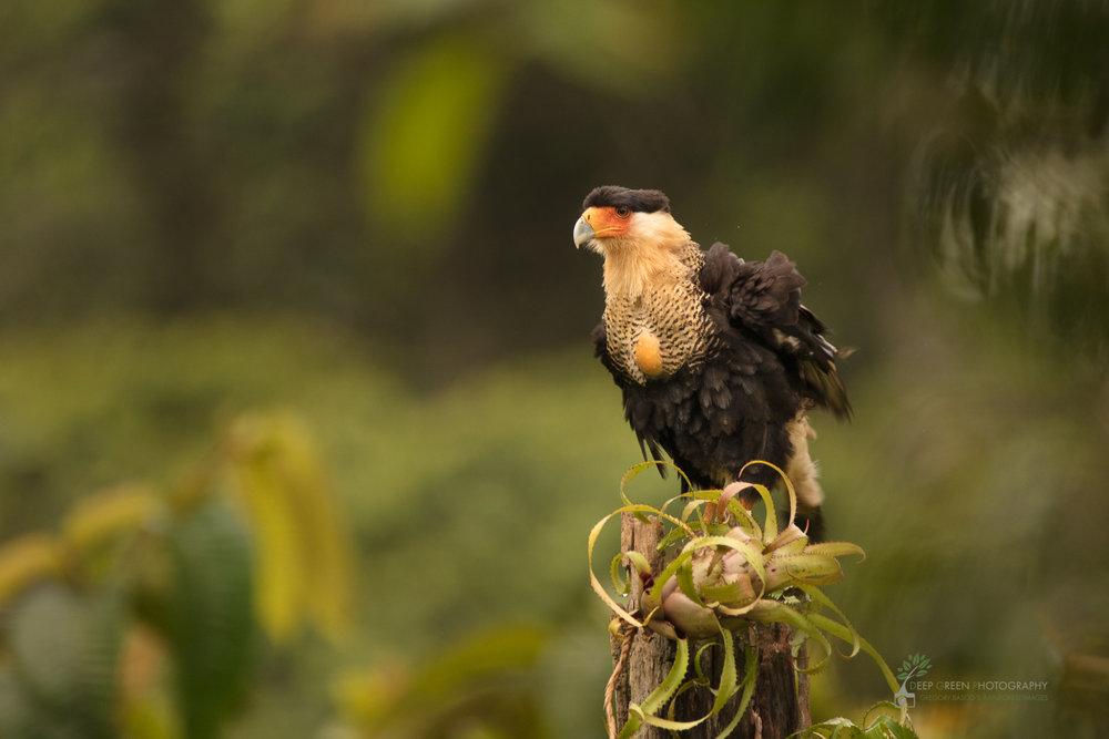 A Crested Caracara perched in rainforest, Costa Rica