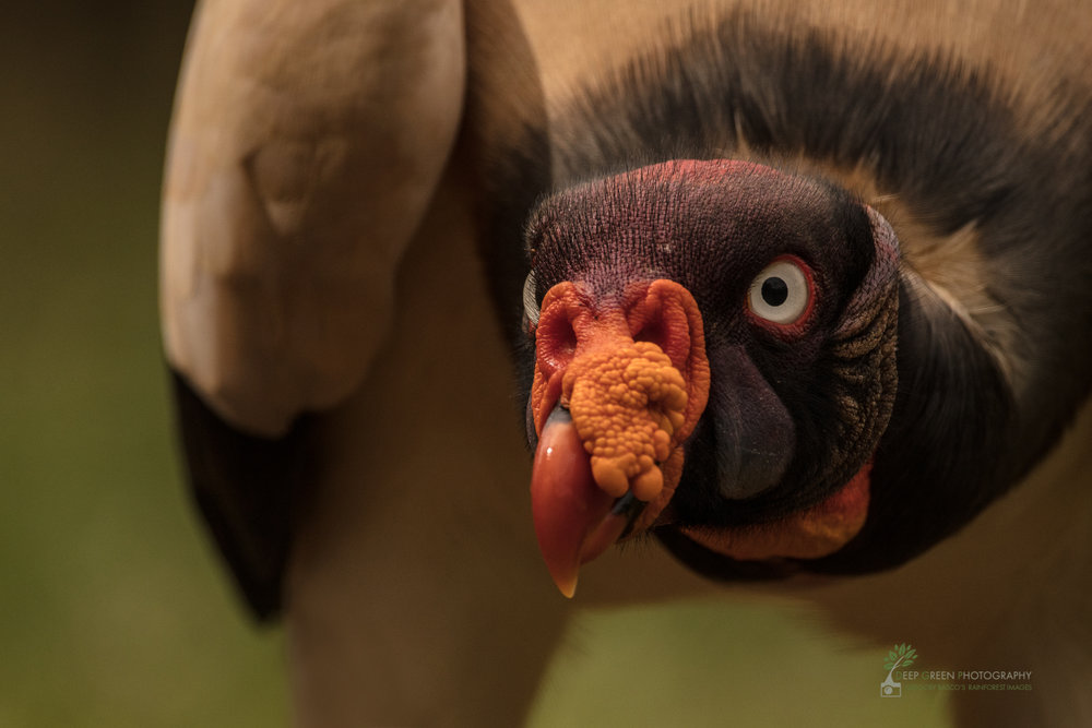 An inquisitive king vulture peers into the camera as I shot through a blind in northern Costa Rica.