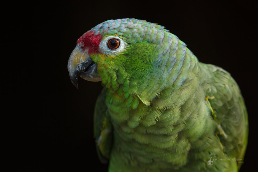 A red-lored parrot, Costa Rica