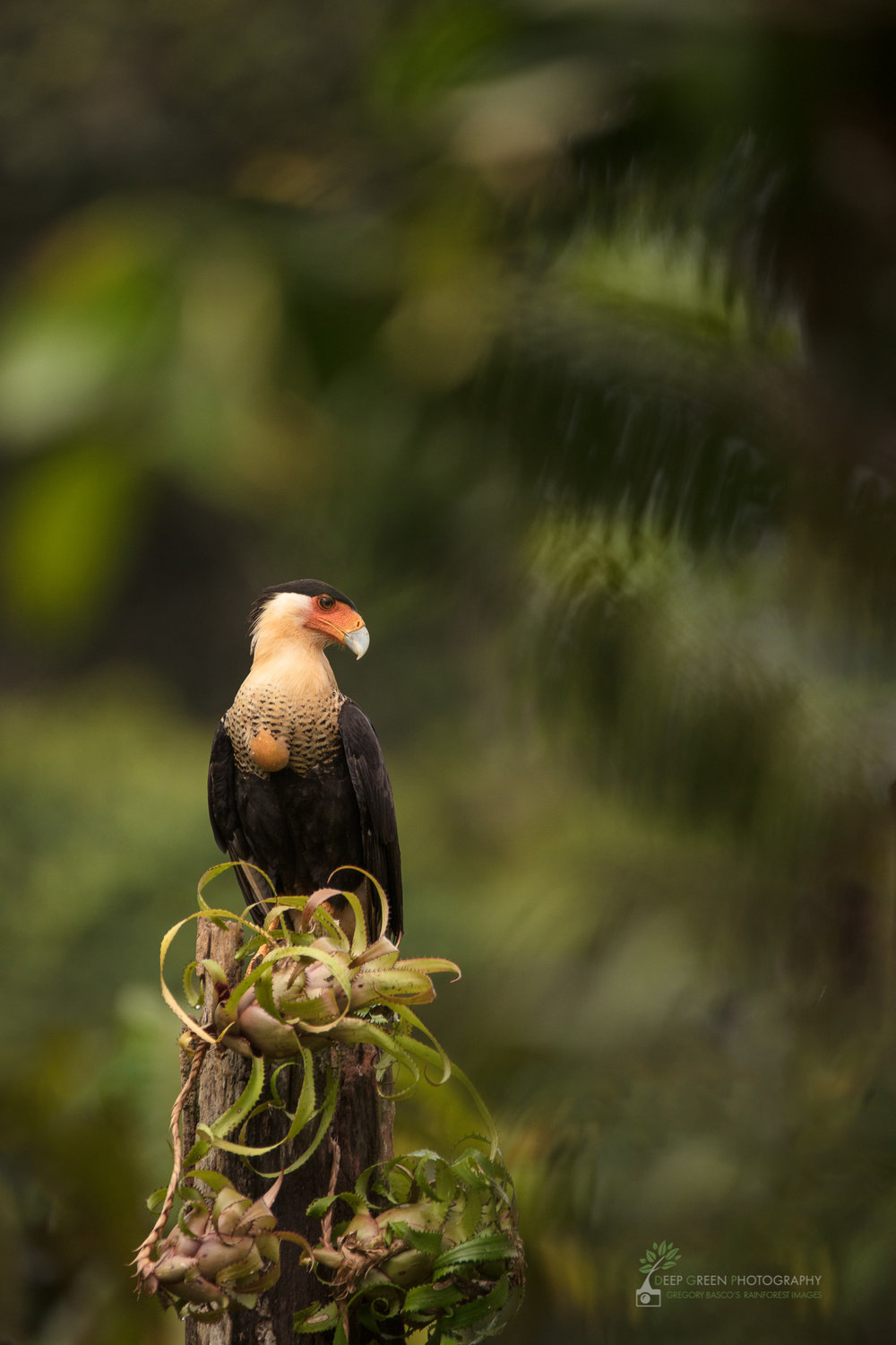 A Crested Caracara perched in rainforest, Costa Rica
