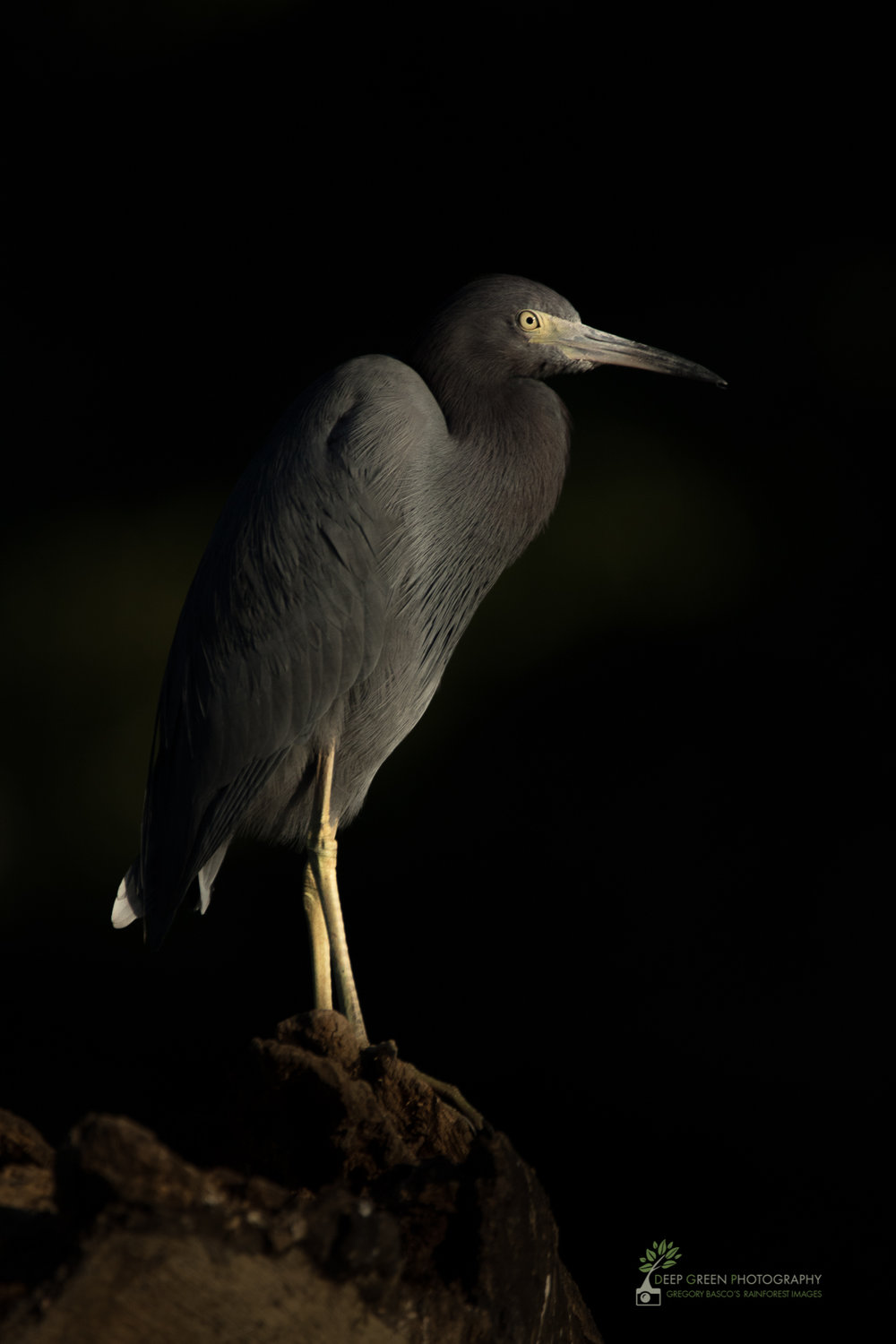 A little blue heron in early morning light, Tarcoles River, Costa Rica