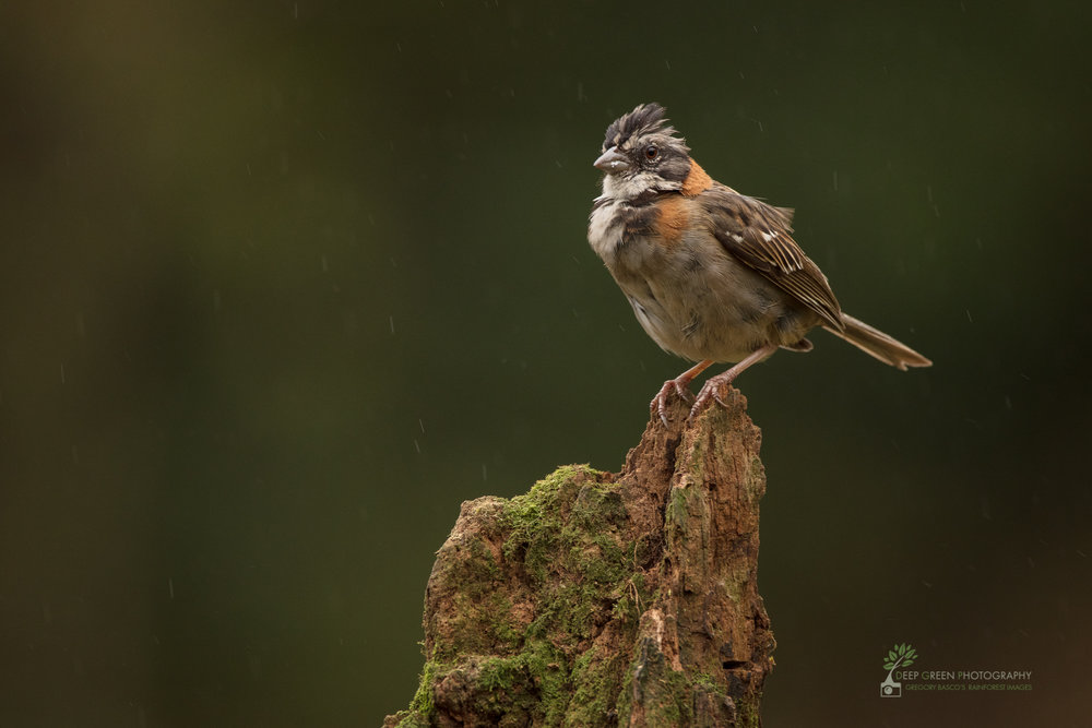 Rufous-collared sparrow, highlands, Costa Rica