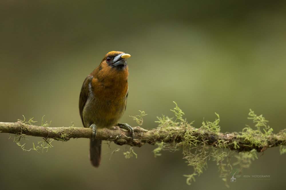 Prong-billed Barbet in cloud forest, Costa Rica